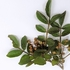 토종 왕초피나무 정유 미백효과 우수