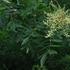 붉나무 추출물에서 항산화·미백효과 확인